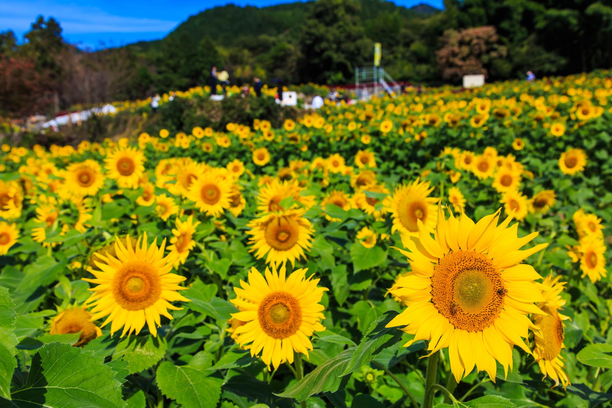 『山田ひまわり園 秋に咲くひまわり』2020年の開催時期と交通アクセス